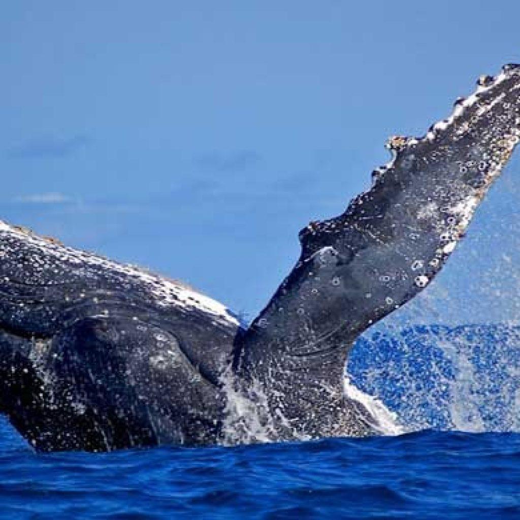 Madagaskar – Festival of Whales: von der 8 die 16 Juli 2017 in Sainte-Marie