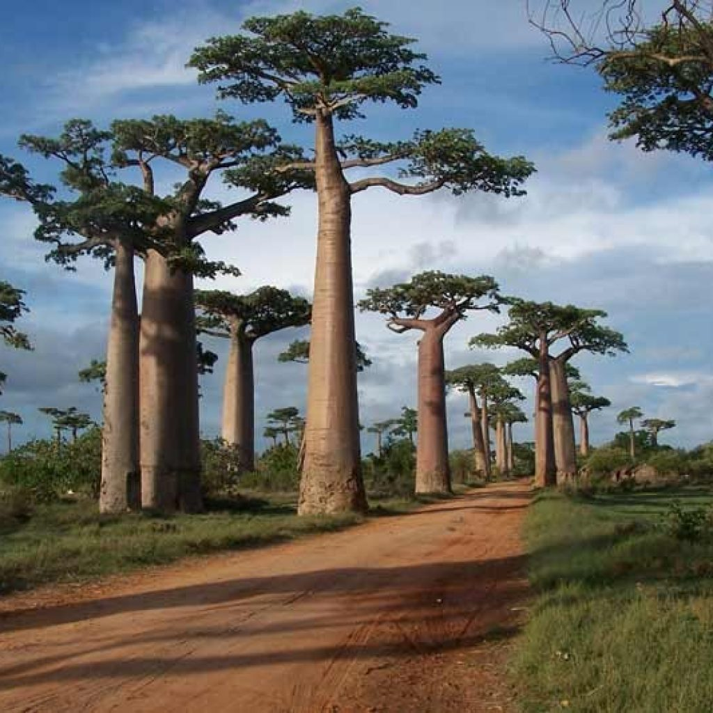 Morondava Baobab hosts the grave-Festival | Madagascar