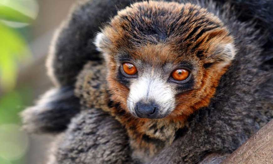Browse Madagascar lemurs explore