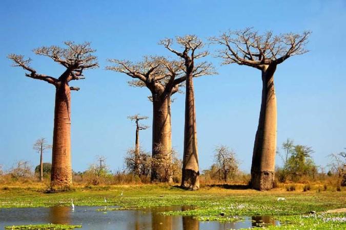 Baobab de Madagascar (2)