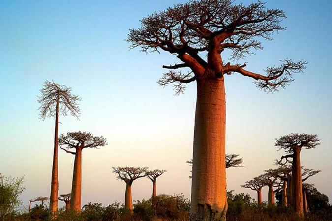 Baobab de Madagascar (3)