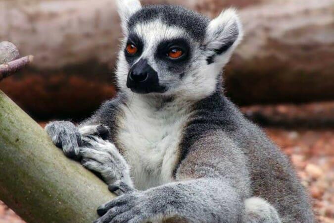 Lemuriens de Madagascar (4)