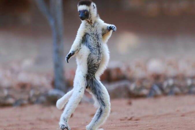 Lemuriens de Madagascar (5)