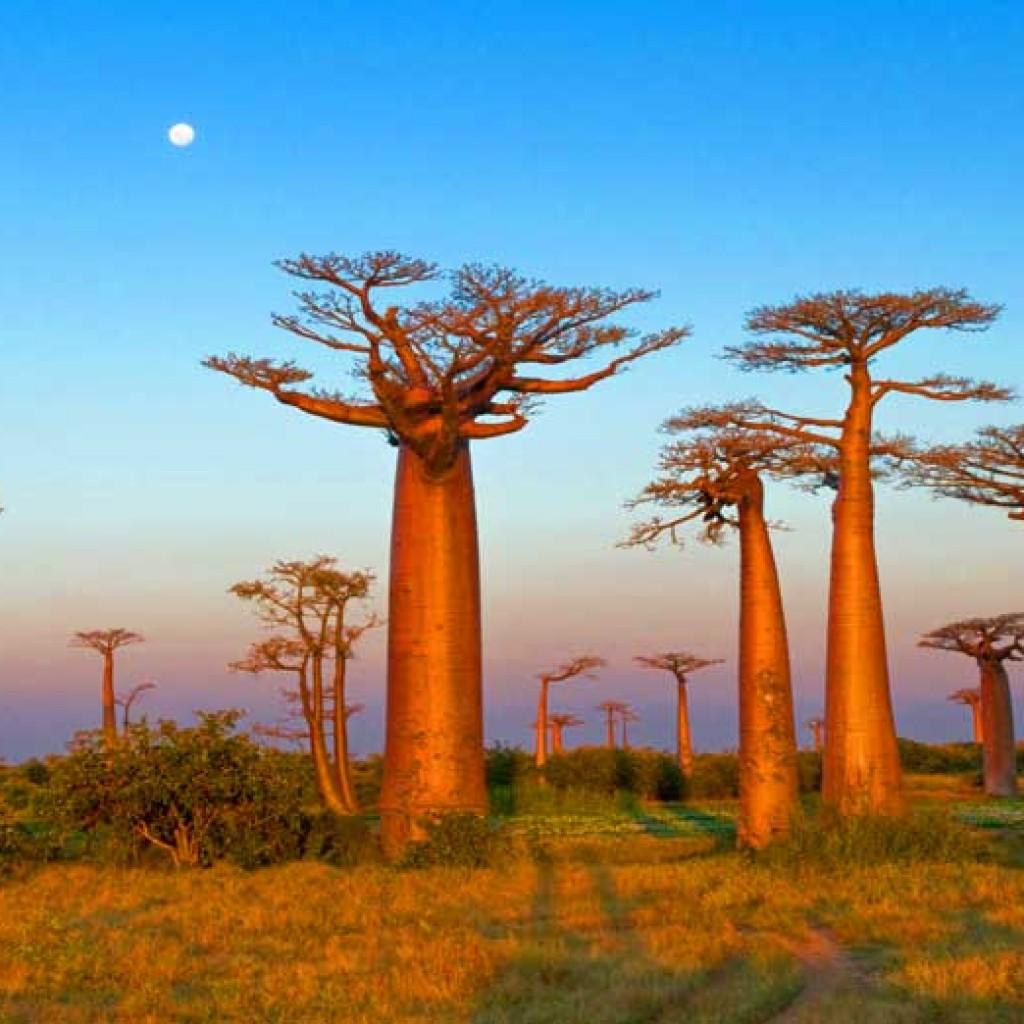 Baobab : mythologie et valeur nutritionnelle