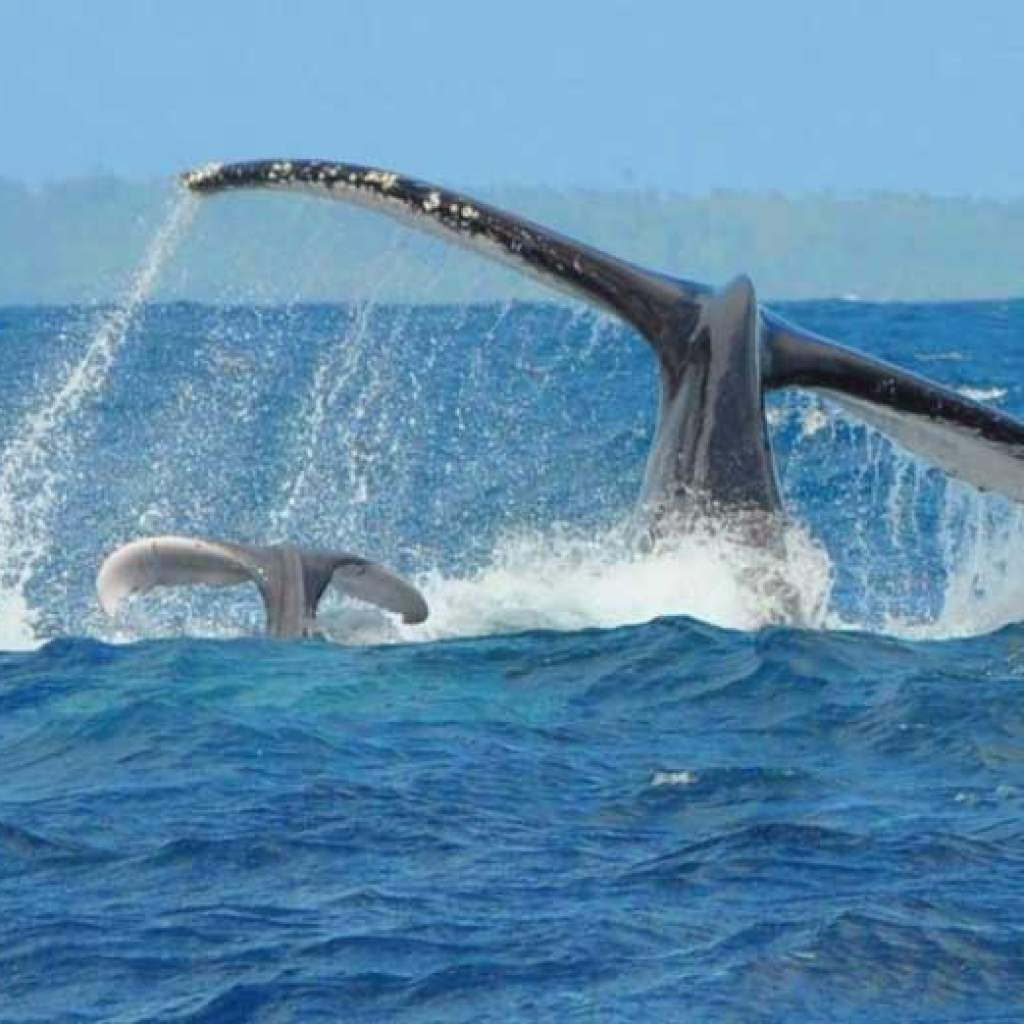 La saison des baleines approche à Sainte-Marie