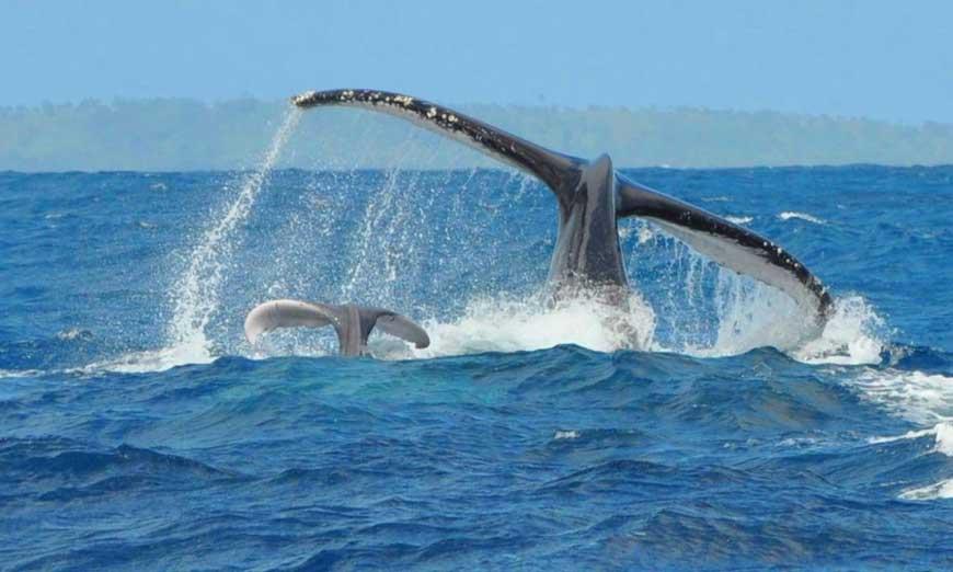 La saison des baleines