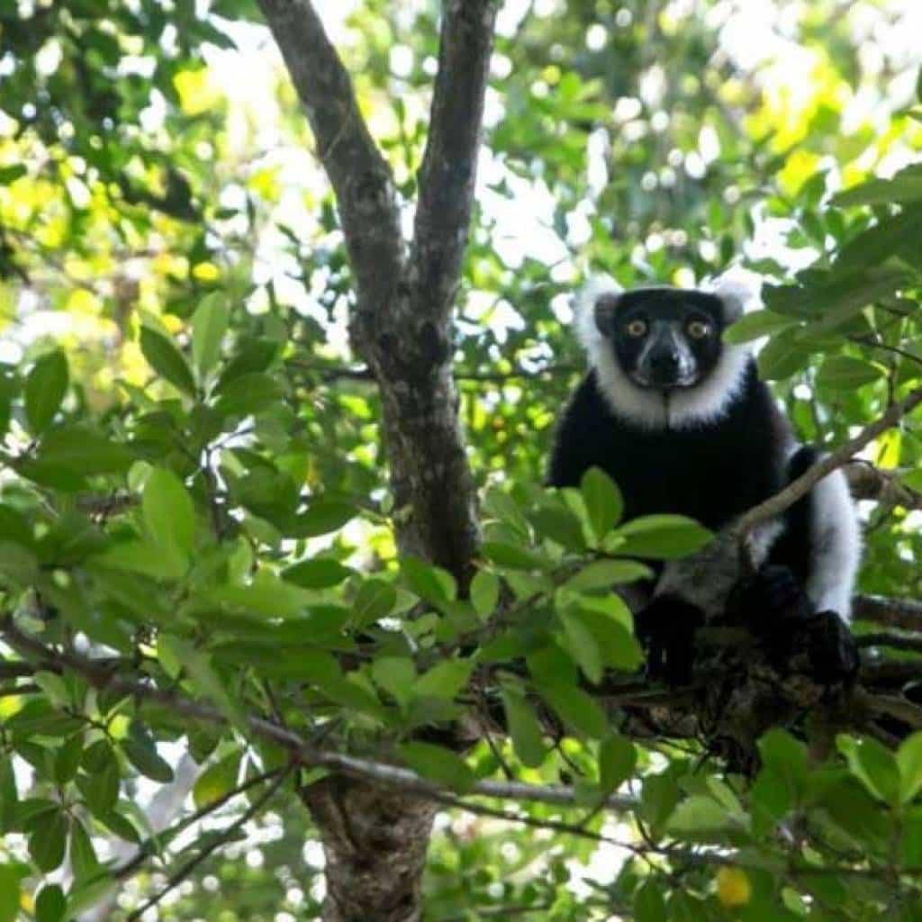 Die Entdeckung der Lemuren von Madagaskar